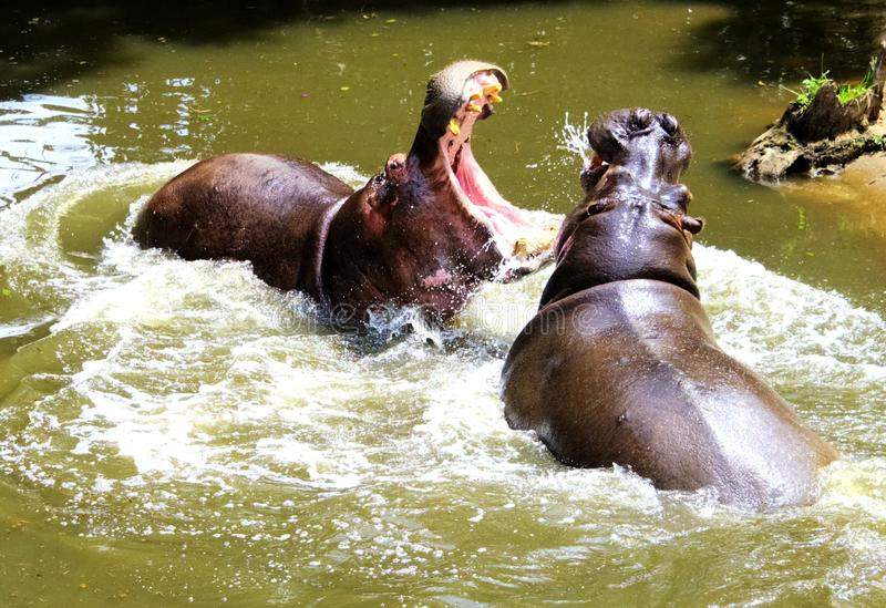 Flusspferd-Kampf lizenzfreie stockfotografie