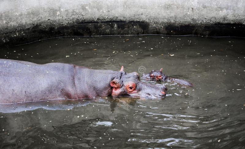 Flusspferd mit Kind lizenzfreies stockfoto