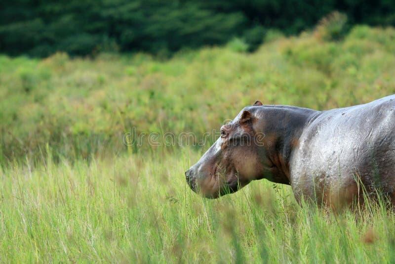 Flusspferd - Murchison fällt NP, Uganda, Afrika stockbilder