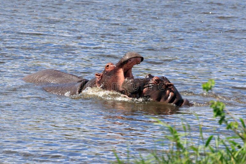 Flusspferde imagem de stock royalty free