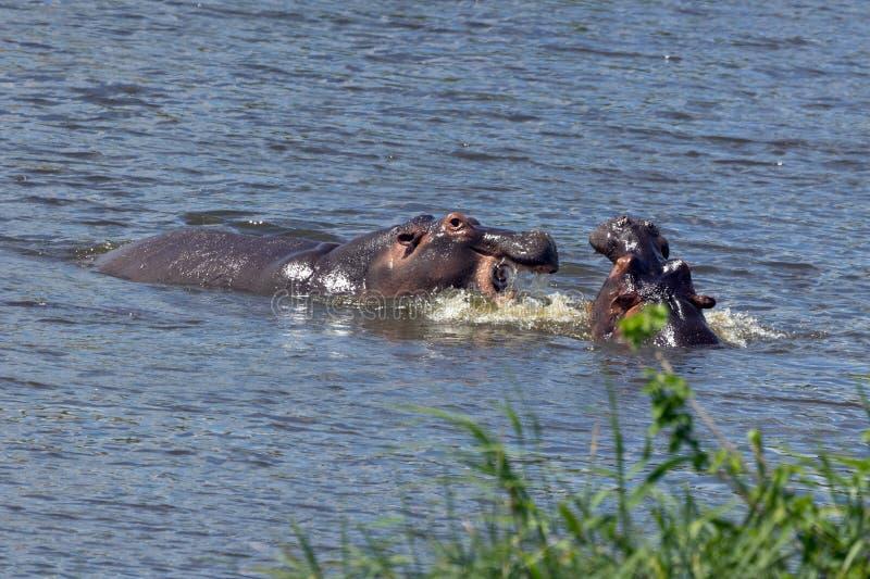 Flusspferde fotografia de stock