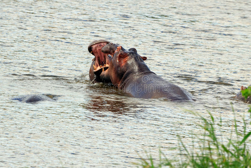 Flusspferde royalty free stock images