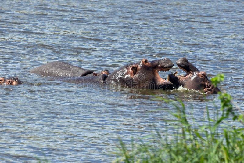 Flusspferde stock photos