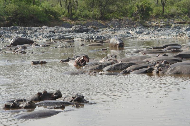 Flusspferde im Wasser lizenzfreie stockbilder