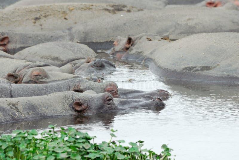Flusspferde im Wasser, Ngorongoro-Krater, Tansania stockfotografie