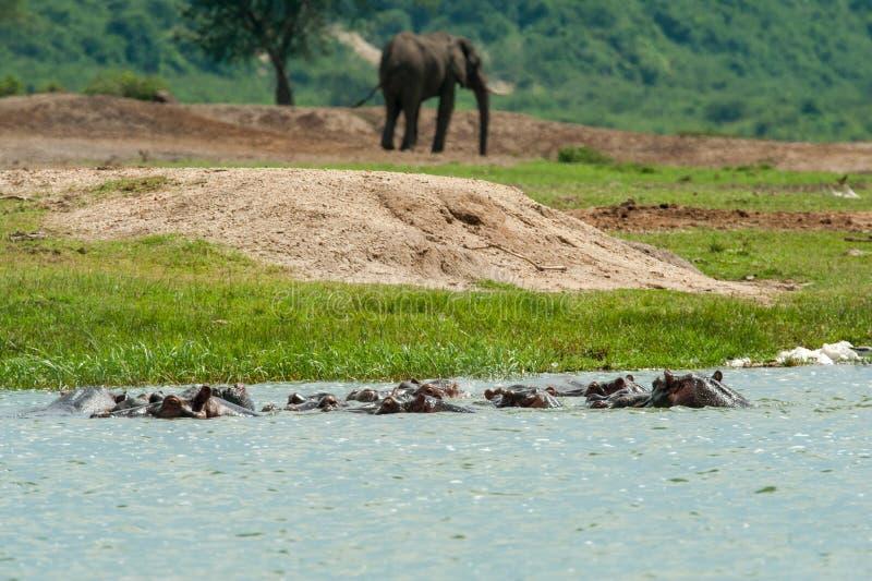 Flusspferde und afrikanischer Elefant stockbilder
