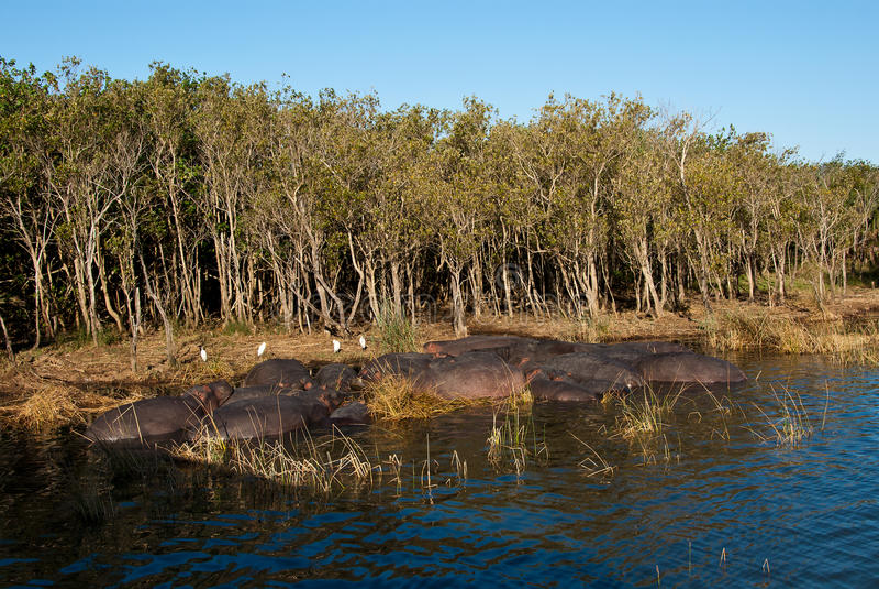Flusspferdhülse lizenzfreies stockfoto
