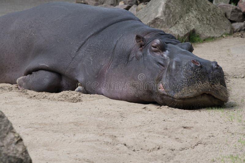 Flusspferdlegen schläfrig auf Sand stockfoto