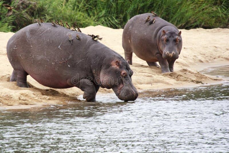 Flusspferds stockfoto