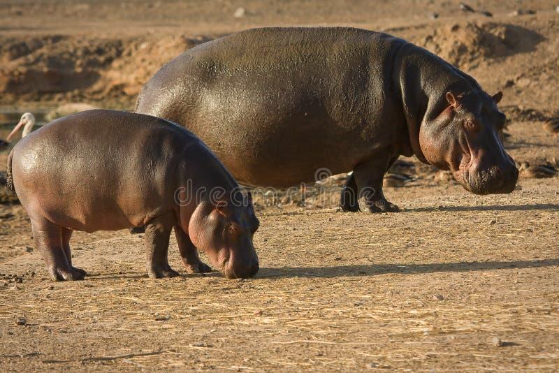 Flusspferdschätzchen mit Mutter stockbilder