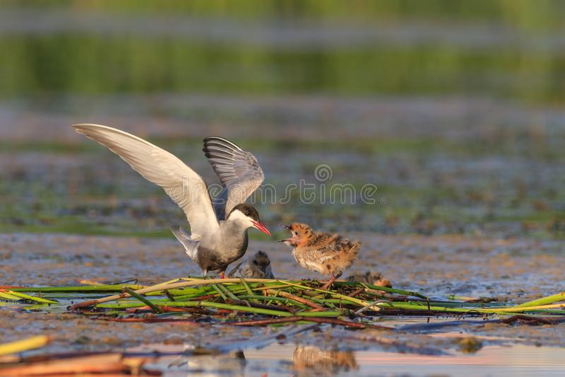 Flussseeschwalbe-Sterna Hirundo lizenzfreies stockfoto