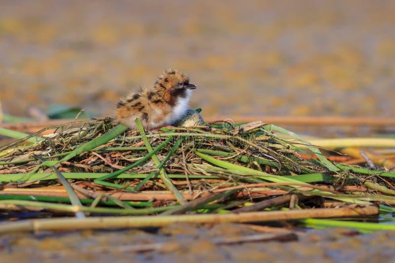 Flussseeschwalbe-Sterna Hirundo lizenzfreies stockbild