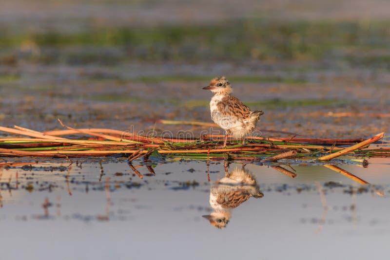 Flussseeschwalbe-Sterna Hirundo lizenzfreie stockbilder