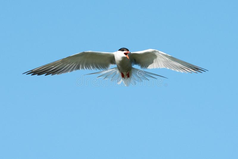 Flussseeschwalbe u. x28; Sterna hirundo& x29; lizenzfreies stockfoto