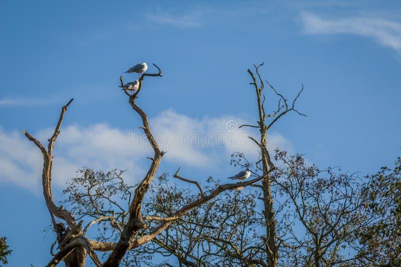 3 Flussseeschwalben in einem Baum lizenzfreies stockfoto