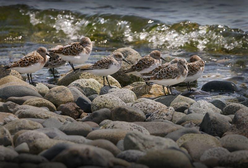 Flussuferläufer an der Küstenlinie lizenzfreie stockbilder