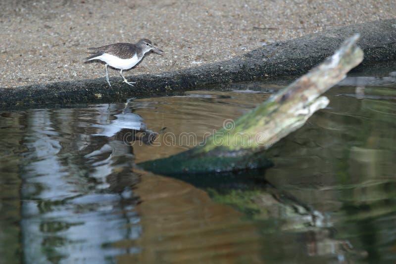 Flussuferläufer am Wasser lizenzfreies stockbild