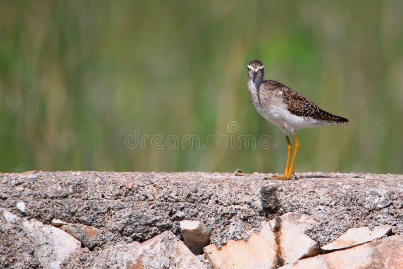 Flussuferl?ufervogel stockbilder