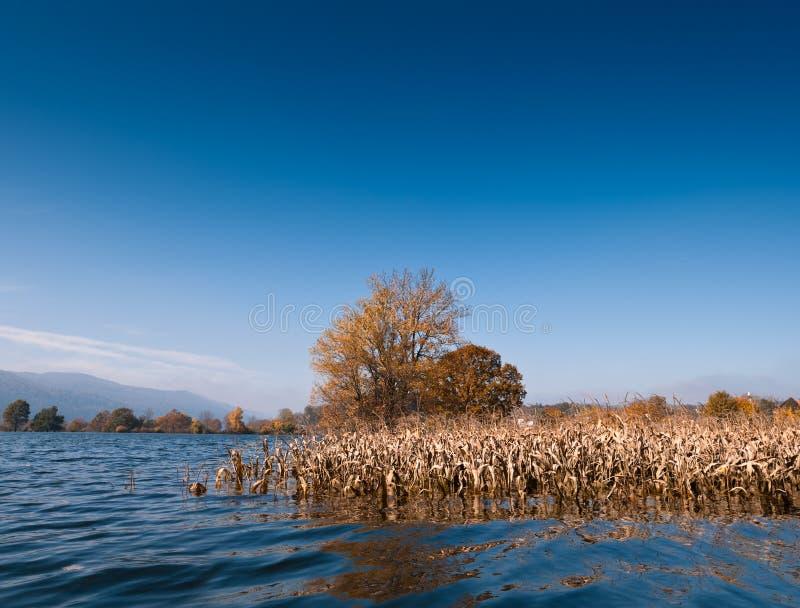 Flut. Überschwemmtes Feld von Mais stockfotografie