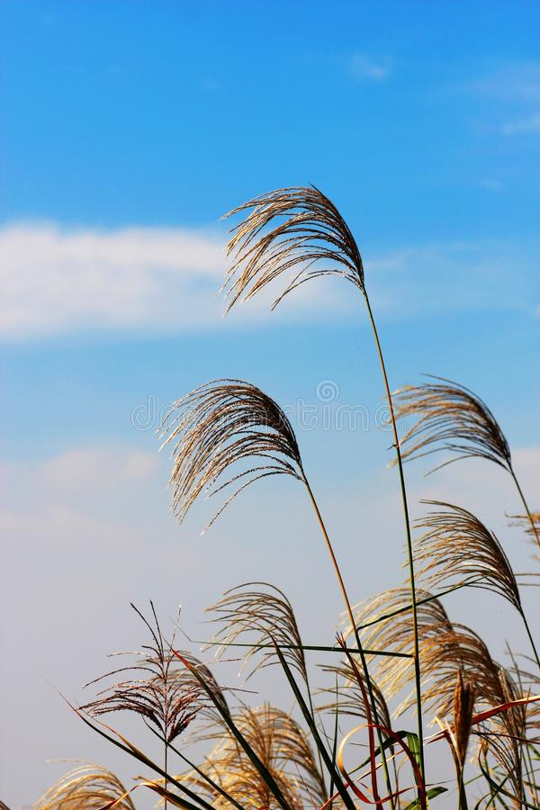 Fluttering reed and blue sky stock images