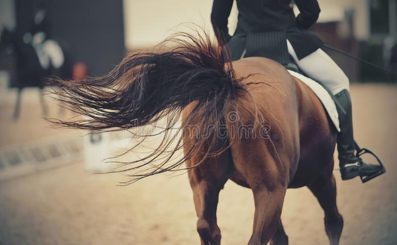The fluttering tail of a red galloping horse. Dressage horse. The fluttering tail of a red galloping horse. Dressage of horses in the arena. Equestrian sport stock images