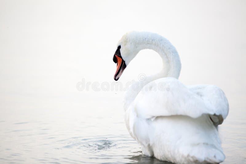 Flutuação branca bonita das cisnes foto de stock royalty free