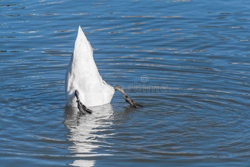 Flutuação da cisne de cabeça para baixo fotos de stock