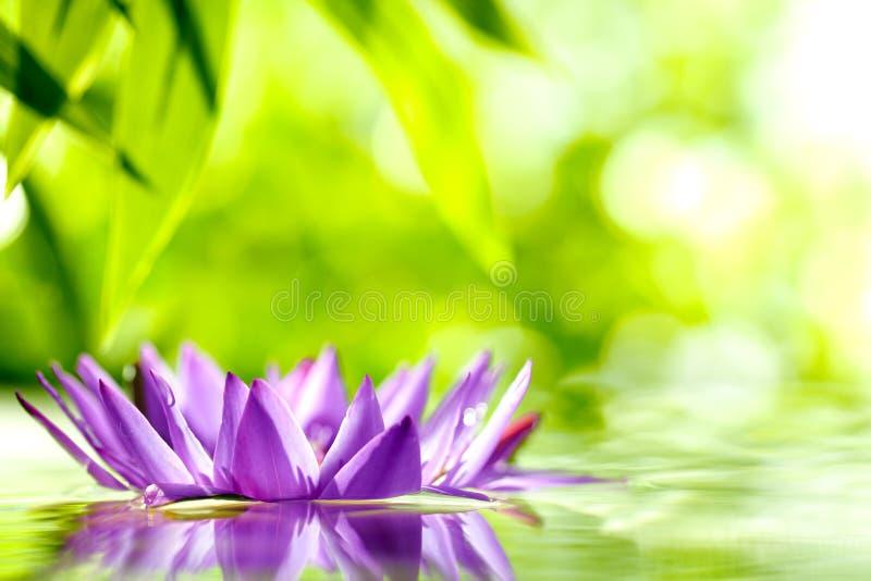 Lírio de água em um fundo verde imagens de stock royalty free
