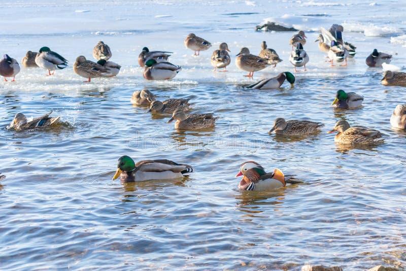 Flutuadores bonitos do pato de mandarino no lago ou no rio Uma espécie rara de pato imagem de stock