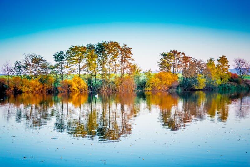 Flutuadores brancos solitários de uma cisne ao longo de um rio que reflita árvores coloridos do outono Paisagem do outono com o r fotografia de stock