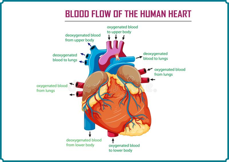 Flux sanguin du coeur humain illustration stock