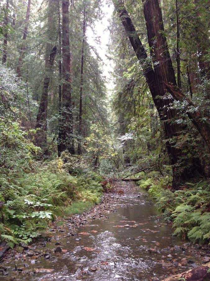Fluya el bosque del rojo de los árboles altos de California de maderas del muir del bosque del Estado de la secoya imagen de archivo libre de regalías