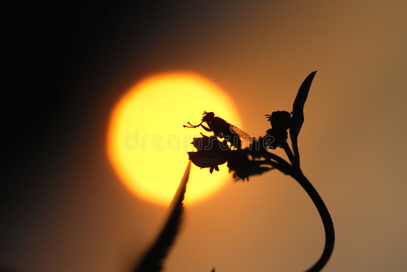 The fly,wild flower and sunset stock photo