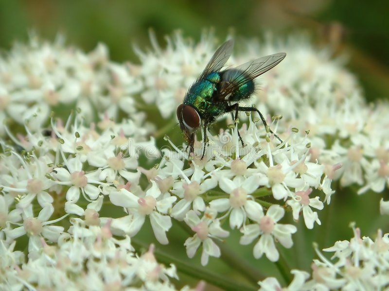 Download Fly stock photo. Image of green, greenfly, wing, close, flower - 2898