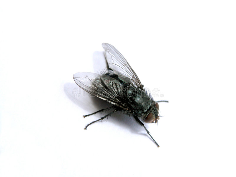 Fly 1. Another fly royalty free stock image