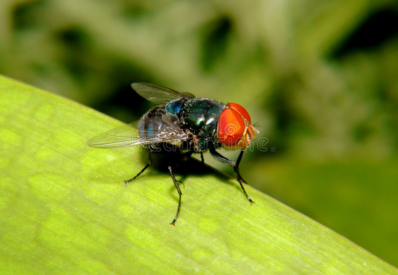 Download Fly stock image. Image of dirty, nature, small, magnify - 152359