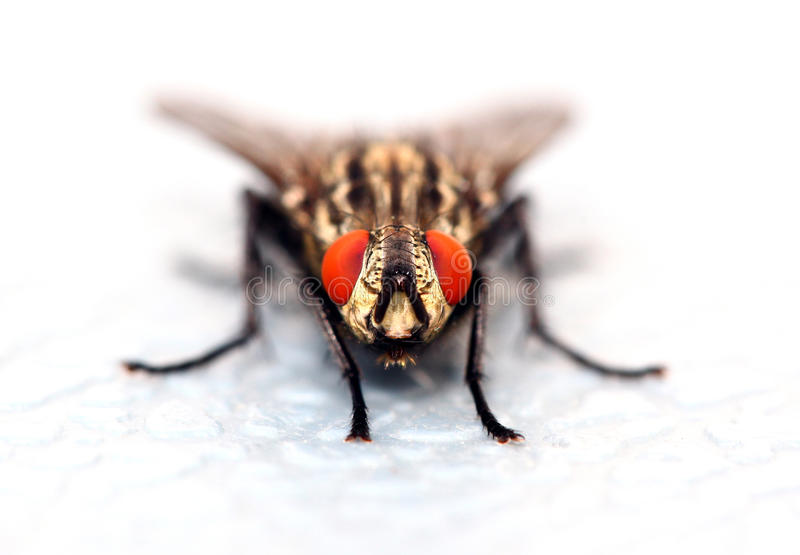 Download Fly stock photo. Image of medical, insects, extreme, hair - 17489452