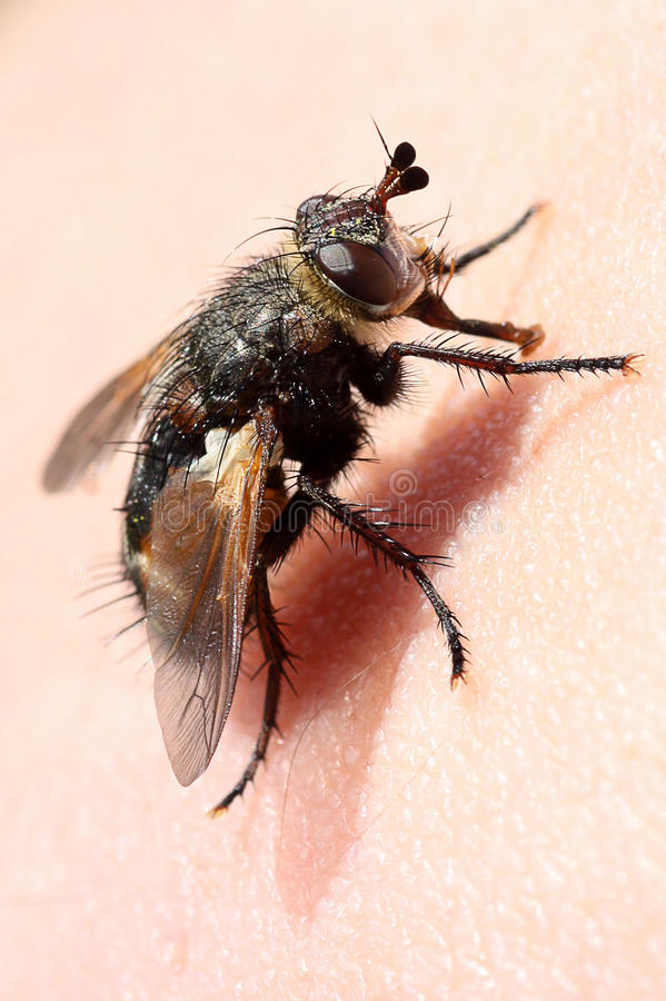 Download Fly stock photo. Image of eyes, animal, animals, legs - 24562948