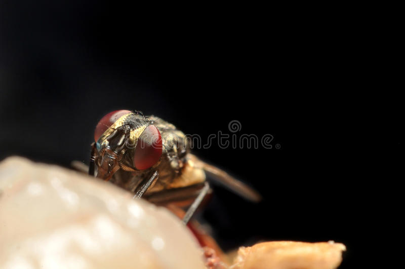 Download Fly stock photo. Image of closeup, nature, insect, brown - 26865770