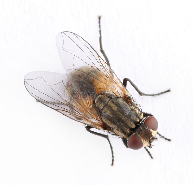 Download Fly stock photo. Image of wing, insect, buzz, animal - 29644816