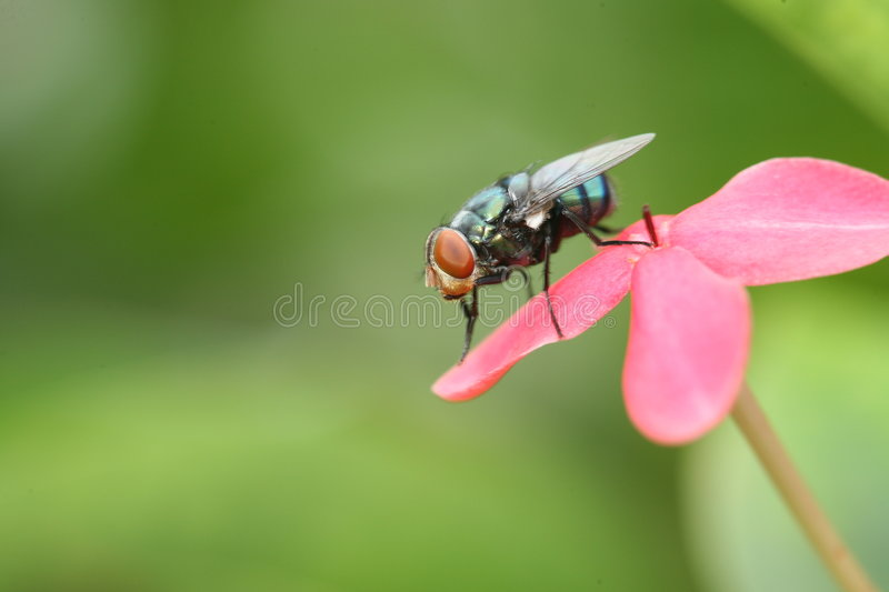 Fly. On a pink flower stock photos