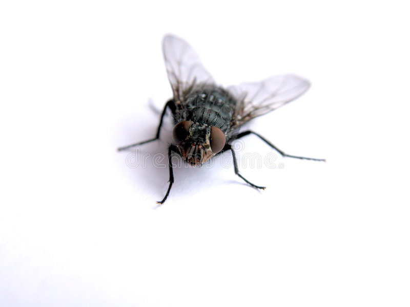 Fly. An fly royalty free stock photos