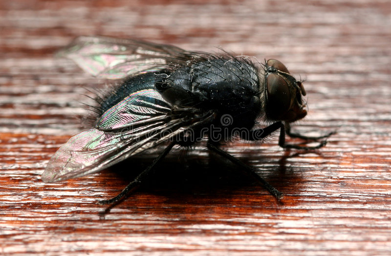 The fly royalty free stock images