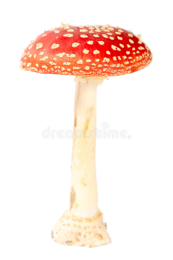 Fly agaric royalty free stock images
