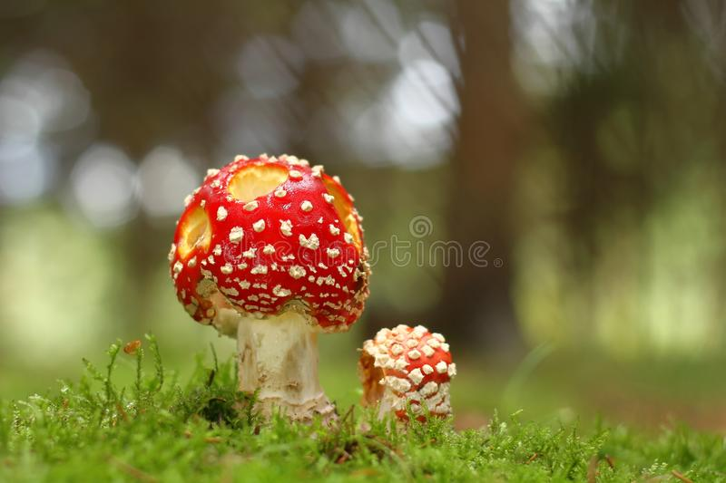 Download Fly Agaric Royalty Free Stock Photo - Image: 27122365