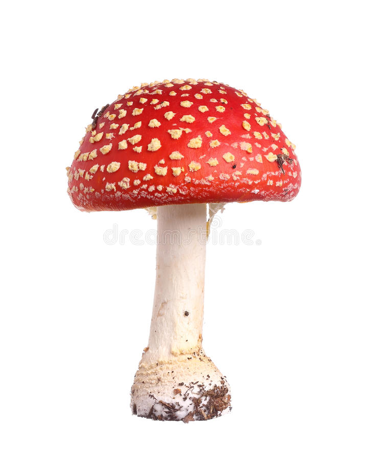 Fly agaric stock images