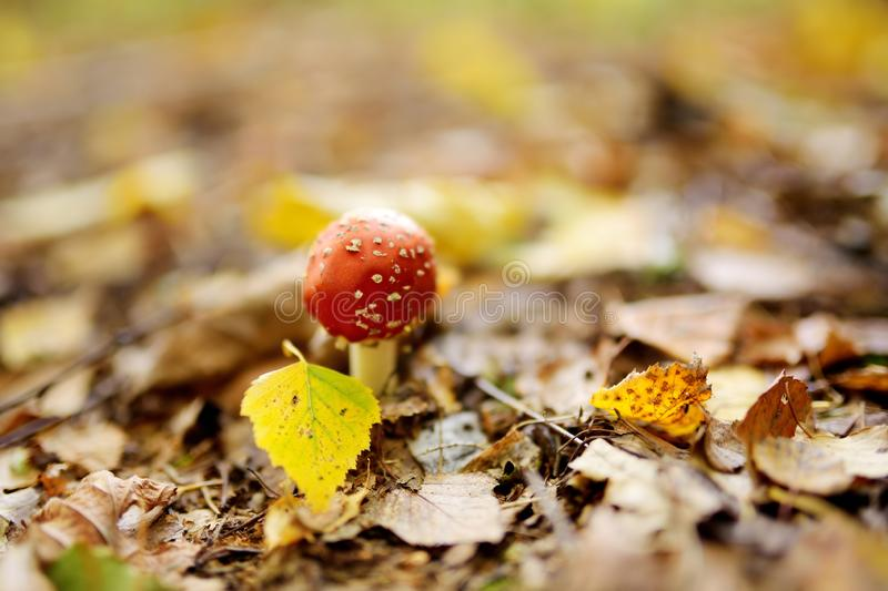 Fly Agaric Amanita muscaria poisonous red mushroom royalty free stock photography