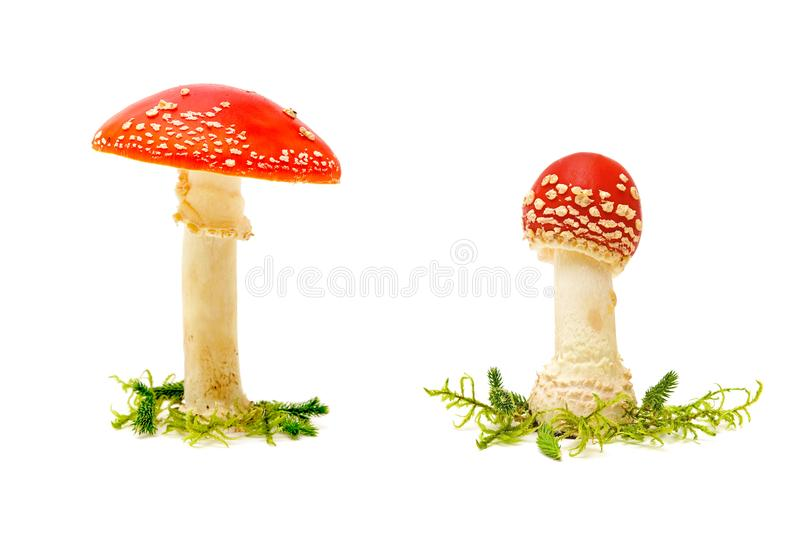 Fly agaric or fly Amanita mushroom on a white background stock image