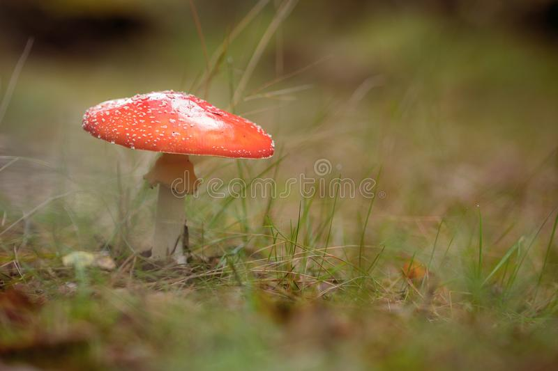 Fly agaric fungus standing in grass stock photos