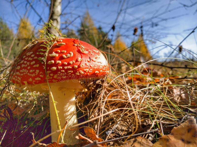 Fly-agaric in the grass closeup. Fly-agaric, mushroom, season, nature, poisonous, psychedelic, autumn, september, october, day, background, color, red, pileus stock image